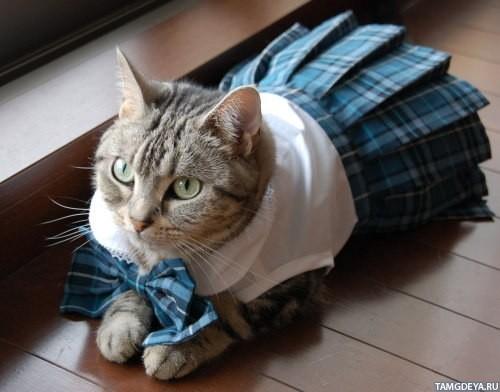 Лежащая кошка в одежде школьницы
